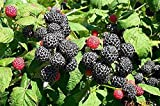 Wild * Black Raspberry Fruit Seeds * Sale*