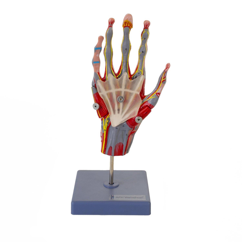 Mehrteiliges und zerlegbares anatomisches Hand Skelett Model | mit ...