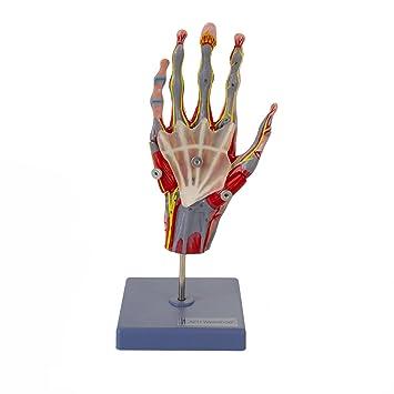 Mehrteiliges und zerlegbares anatomisches Hand Skelett Model   mit ...