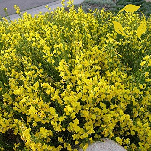 (Scotch Broom Cytisus Scoparius 15,25 Seeds)