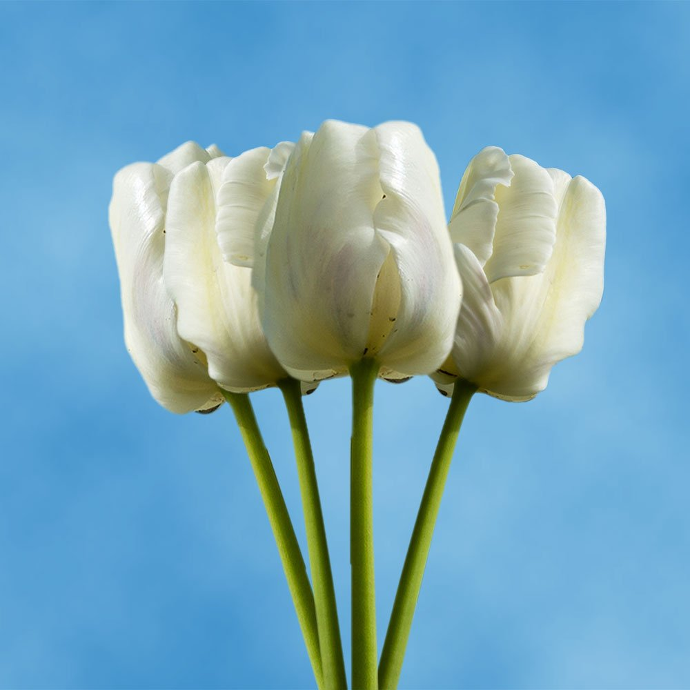 GlobalRose 30 Stems of White Tulips Flowers - Fresh Flowers for Delivery