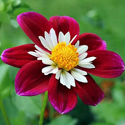 Earth Seeds Co 50 Pcs Dahlia Plants Aubrieta Perennial Flower Seeds, Delightful Large Bee Flowers for Home Balcony Garden Plants : Garden & Outdoor