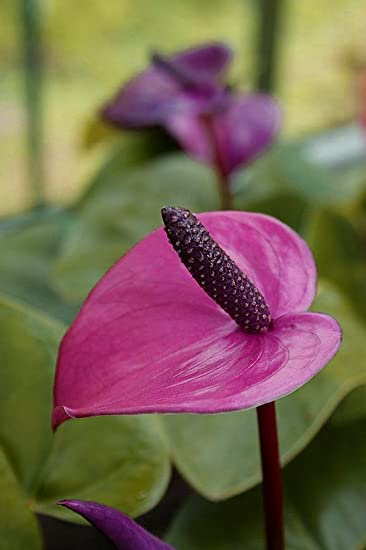 Buy Hirt 27s Gardens Purple Sensation Anthurium Plant Easy To Grow Blooming House Plant 6 Pot Online At Low Prices In India Amazon In