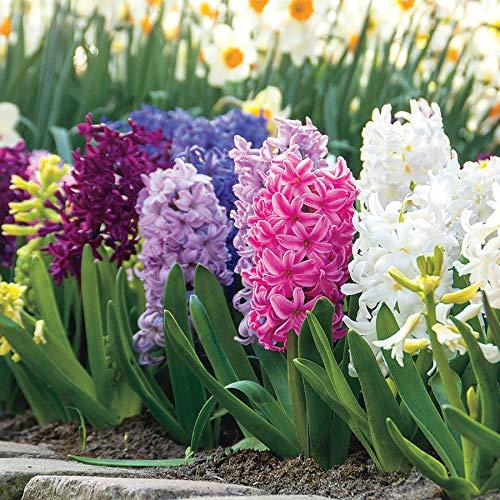 Wayside Gardens Hyacinth Border Mix (Pack of 10) - Bulb by Wayside Gardens