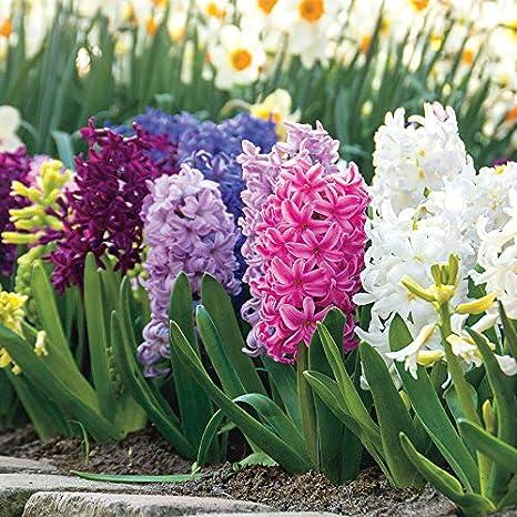 Amazon Com Wayside Gardens Hyacinth Border Mix Pack Of 10