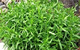 Organic vegetable Tarragon seeds (Artemisia dracunculus) Estragon - 500 seeds.