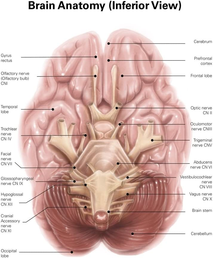 LATERAL VIEW OF BRAIN WALL POSTER ART PRINT LF3180