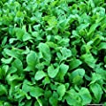 Organic Astro Arugula Seeds - The Most Planted Salad Basic After Lettuce!