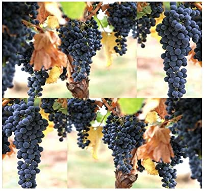 4 Packs x 30 Wine Grape - Domestic Grape Grape-vine - Cultivated Vitis vinifera - Seeds - Originated In Europe & Cultivated Worldwide - Zones 7-10 - By MySeeds.Co