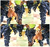 buy 30 x Wine Grape - Domestic Grape Grape-vine - Cultivated Vitis vinifera - Seeds - Originated In Europe & Cultivated Worldwide - Zones 7-10 - By MySeeds.Co now, new 2018-2017 bestseller, review and Photo, best price $7.95