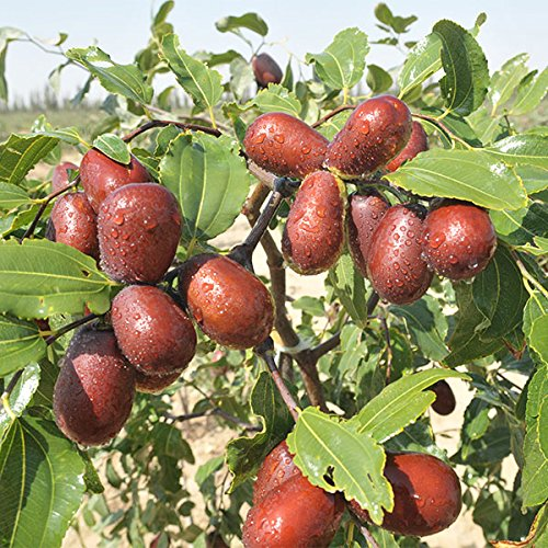 1LB (Seedless) ALL NATURAL GROWN ORGANICLLY Dried JUJUBE DATES,Dates,CHINESE DATES,US SELLER,Fresh and best quality guarantee,UNBEATABLE QUALITY AT THIS PRICE!! HAND SELECTED by PowerNutri Shop (Image #2)