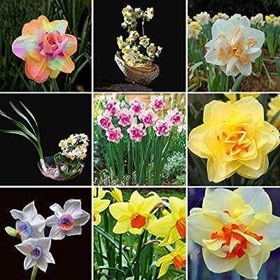 Kaimus Semillas de Flores, Jardín Semillas de Flores, 100pcs Daffodil Seeds, jardín en casa patio Bonsai plantas adorno Semillas Plantas: Amazon.es: Jardín