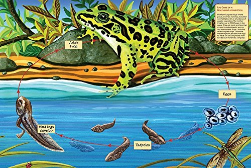 Life Cycle of a Northern Leopard Frog by Cobble Hill