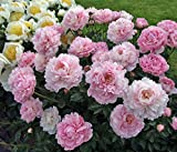 Privick Mill Nursery - Common Peony - Paeonia Lactiflora - 5 seeds - Herbaceous Perennial - Ornamental