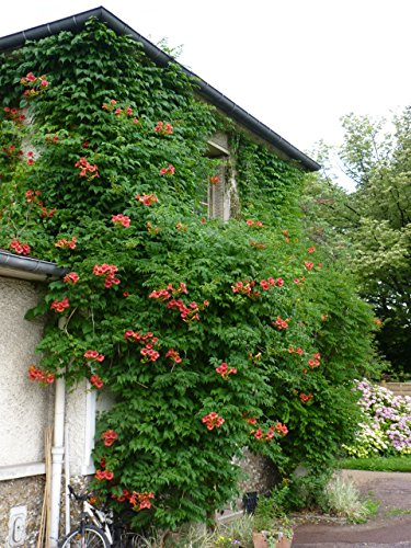 Red Trumpet Vine - Campsis x tagliabuana 'Madame Galen' - Prolific Bloomer - 3 Year Live Plant by Japanese Maples and Evergreens (Image #5)