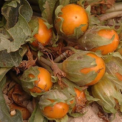 Frutos - Mandragora autumnalis