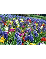 Floriana Selection BULBOSE A FIORE PROFUMATO: 100 bulbi da fiore del valore di €50. L'assortimento comprende cultivar di fresie, giacinti, narcisi ecc.