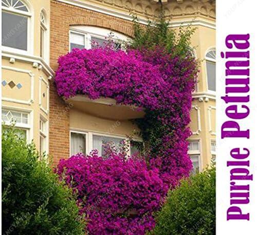 100seeds semillas de flores en maceta colgante de la petunia del jardín semillas de petunia planta de los bonsai balcón para casas y jardines de fácil cultivo: Amazon.es: Jardín