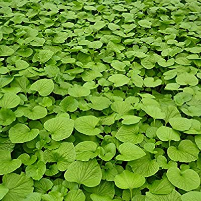 Low Light Outdoor Plants Mesmerizing Amazon House Plants Pack Of 60 Edible Wasabi Plants For Your
