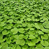 House Plants - Pack of 3 Edible Wasabi Plants for Your Home, Garden, Office - Low Light, Shade, Easy to Plant and Grow Indoor and Outdoor