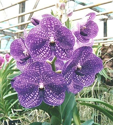 Orchid Vanda Anna Venus