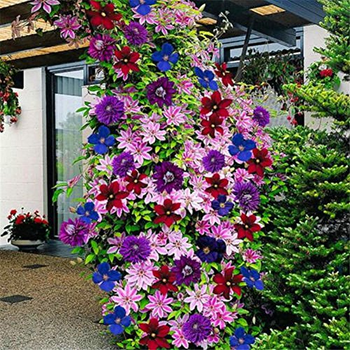 longdelaY6 Clematis Seeds,50Pcs Mixed Color Clematis Flower Seeds Garden Balcony Climbing Plants Seeds - Mixed Color