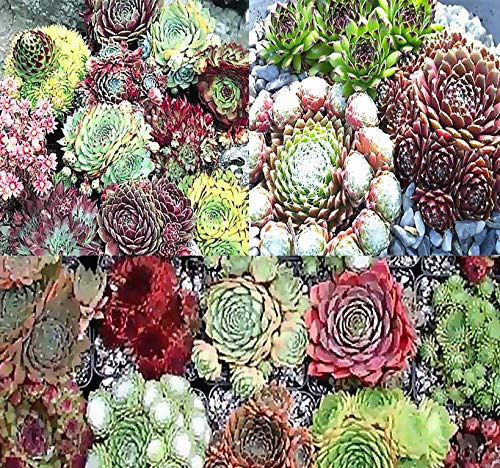 Big Pack - (1,000+) Hen & Chicks Cactus Mixed Seeds - Sempervivum - Hardy Perennial in Zones 5-9 - by MySeeds.Co (Big Pack - Hen & Chicks)