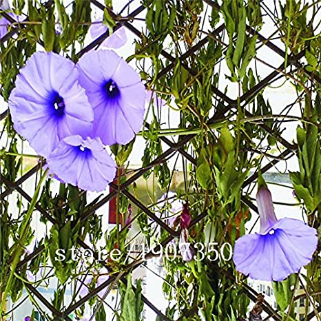 Amazon com : Morning glory seeds 500pcs Petulantly Seeds