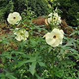 Sunset Hibiscus Seeds (Abelmoschus Manihot) 10+ Rare Flower Seeds