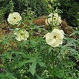 Sunset Hibiscus Seeds (Abelmoschus Manihot) 10+ Rare Flower Seeds