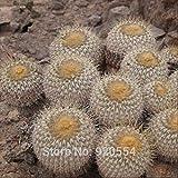 Real Seeds,20pcs/lot Cactus Seed,Copiapoa haseltoniana Succulent Plant Bonsai Plant DIY Home Garden