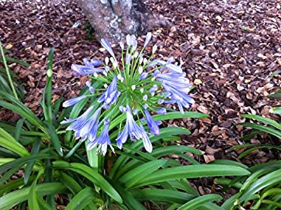 Blue African Lily Of The Nile 50 Seeds