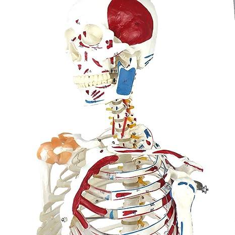 Akakk Human Cuerpo Humano Modelo Esqueleto Ligamento Unido Y