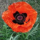 Perennial: POPPY 'ALLEGRO' 50+ Seeds - Deep Scarlet Blooms, Black Center, BEAUTY, Easy To Grow - High Germination, Fresh Seed