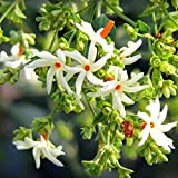 VPN Harshringar/Parijat Flower Live Plant