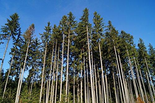 Balsam Fir Tree Seed, Aromatic Christmas Evergreen Tree F...