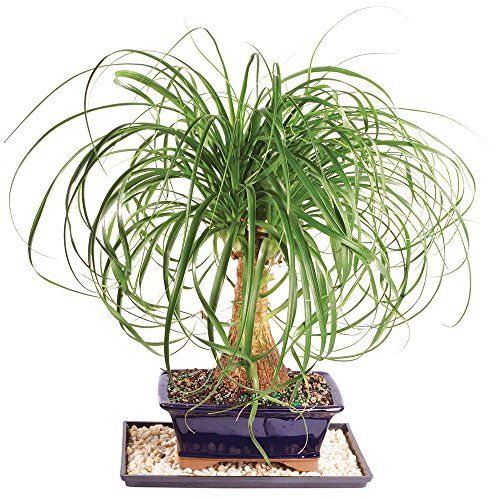Brussel's Ponytail Palm Bonsai - Medium (Indoor) with Humidity Tray & Deco Rock by Brussel's Bonsai