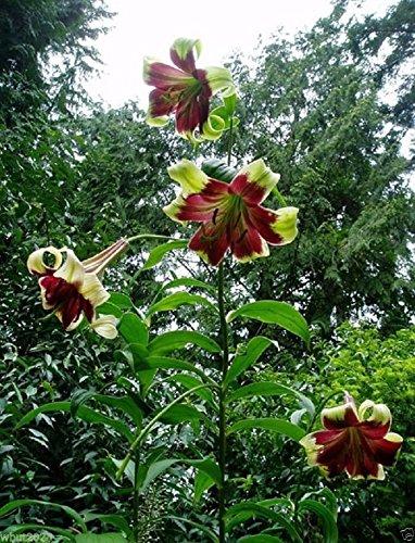 Amazoncom Nepal Lily Lilium Nepalense 10 Seeds Greenish Yellow