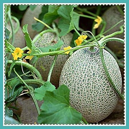 Melon Seeds Green Cantaloupe Melon Seeds Good Taste Nutritious Home Garden Plant