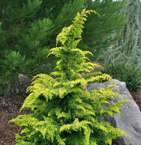 Hinoki Cypress Tree - Golden Fernleaf Hinoki False Cypress - Live Plant - Trade Gallon Pot