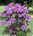 Castor Bean -Deep Purple- New Zealand Purple, Tropical Look, Fast Growing - Ricinus Communis, (16+ Seeds)