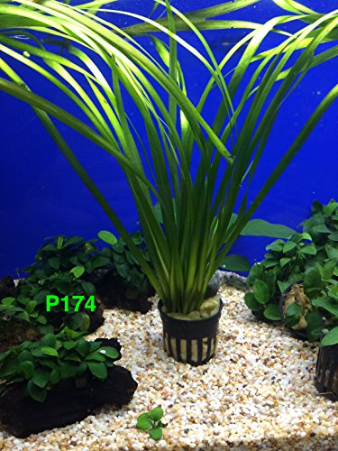 Exotic Live Aquatic Plant For Fresh Water Aquarium Vallisneria spiralis Potted P174 By Jayco BUY 2 GET 1 FREE by Jayco (Image #2)