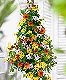 Organic Climbing Flowers seeds Black-eyed Susan Vine (Thunbergia alata) Mix.