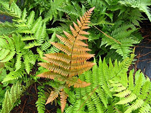 Live Autumn Fern aka Dryopteris erythrosora Plant Fit 4