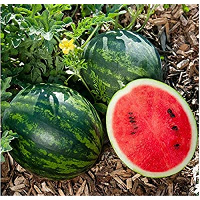 Seed House-KOUYE Organic Thumb Watermelon Seeds Perennial Mini Cucumber Watermelon Crimson Sweet Sugar Sweet Yellow Pineapple Melon Watermelon Edible Fruit Garden : Garden & Outdoor