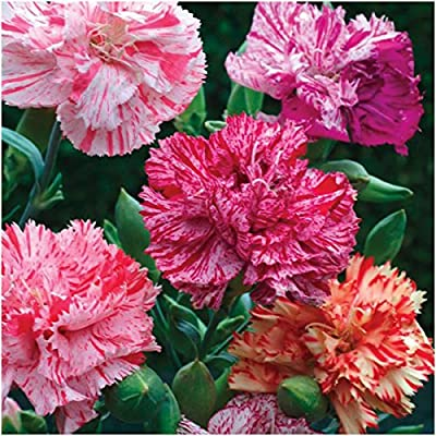 "Package 500 Seeds, Carnation ""Picotee Mixture"" (Dianthus caryophyllus) Open Pollinated Seeds By Seed Needs"