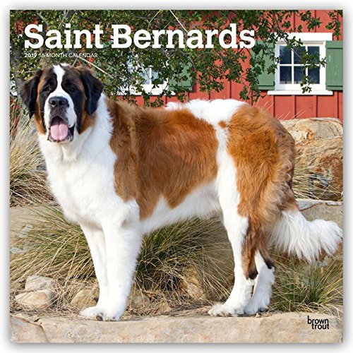 Saint Bernards 2019 12 x 12 Inch Monthly Square Wall Calendar, Animals Dog Breeds