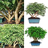 Hawaiian Umbrella Tree Bonsai Dwarf Live Plant Tropical 8 Years Indoor Best Gift Plant A6