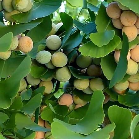 Amazon Com Ginkgo Tree Seeds Ginkgo Biloba 5 Fresh Rare