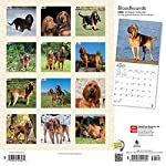 Bloodhounds 2020 12 x 12 Inch Monthly Square Wall Calendar, Animals Dog Breeds Hound 5